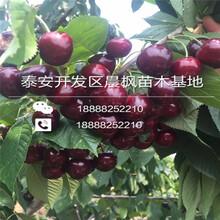 黑珍珠樱桃树苗一棵价格图片