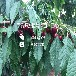 新品种矮化黄金樱桃苗、一棵价格矮化黄金樱桃苗一棵价格