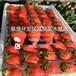 东丽草莓苗亩产值多少,东丽草莓苗