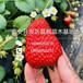 明日草莓苗优质,明日草莓苗