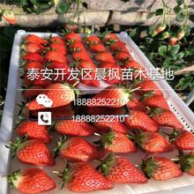 枥乙女草莓苗,枥乙女草莓苗多少钱一棵图片