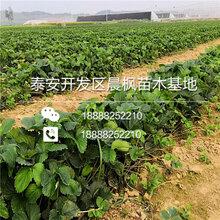 鲁旺草莓苗,鲁旺草莓苗厂家图片