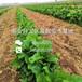 京桃香草莓苗出售基地,京桃香草莓苗