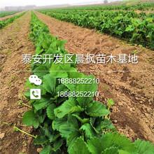京承香草莓苗批发基地,京承香草莓苗图片