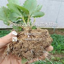 艾尔巴草莓苗品种苗,艾尔巴草莓苗图片