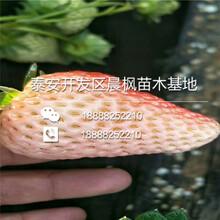 幸之花草莓苗,幸之花草莓苗多少钱一株图片