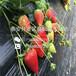 京御香草莓苗,京御香草莓苗品种