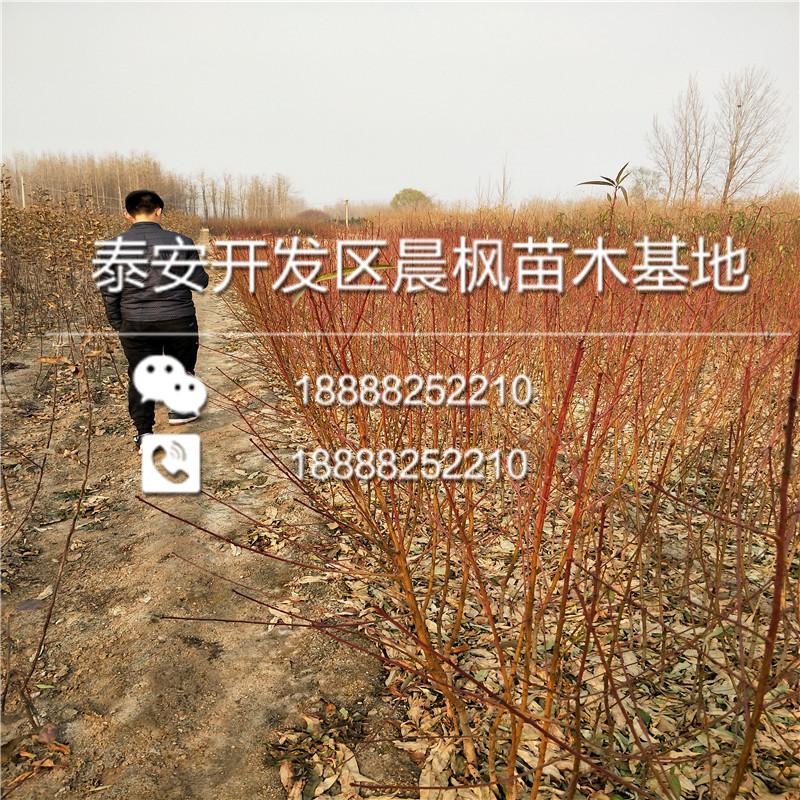 新疆阿克苏拜城美国风味玫瑰李子苗、美国风味玫瑰李子苗报价
