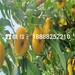 金华兰溪市中蟠17巨蟠桃苗新价格销售价格、中蟠17巨蟠桃苗多少钱
