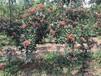 韩城哪里有花椒苗,无刺,狮子头,大红袍,黄盖花椒苗基地韩城花椒苗批发
