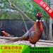 生态绿色发展优质野鸡苗七彩山鸡苗脱温青年土就鸡苗销售