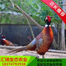 生态绿色发展优质野鸡苗七彩山鸡苗脱温青年土就鸡苗销售图片