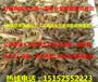 上海龙虾苗在那里买龙虾苗出售