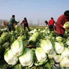 河北张家口蔚县草沟堡乡--长期供应黄心大白菜