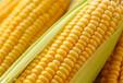 黔货珍品供应:大颗粒饱满玉米可榨汁