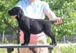 天津欧卓犬业纯种拉布拉多赛级犬专业繁殖双冠军后代精品幼犬出售血系纯正