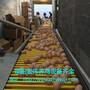 大量生产优质捡蛋机自动拣蛋机荥阳宏伟品质保证图片