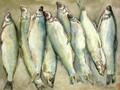 北京哪里有卖呼伦湖大白鱼的图片