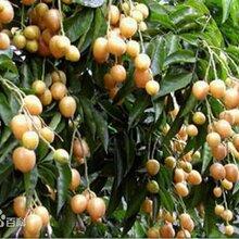 北京哪里有賣黃皮果的圖片