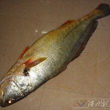 北京黃唇魚花膠銷售圖片
