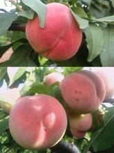 桃子當季脆蜜桃農家孕婦果時令水果脆毛桃圖片