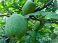 土特产供应——湘遇银鸿不玩虚的,用信誉担保木瓜片品质图片