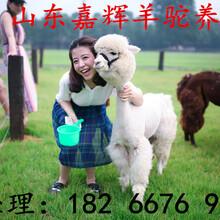 河北邯郸羊驼展览公司