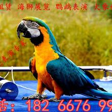 本地羊驼租赁羊驼出租羊驼租赁浙江杭州南方羊驼租赁
