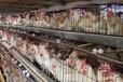 肉鸡吃什么长得快肉鸡催肥添加剂是不错的选择