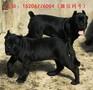 纯种卡斯罗犬多少钱,卡斯罗幼犬价格图片