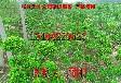 造型黄杨种植批发基地、大型精品造型黄杨苗圃、苏州别墅绿化工程、庭院绿化苗木