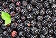 美国原装进口浓缩果汁,黑莓浓缩汁1