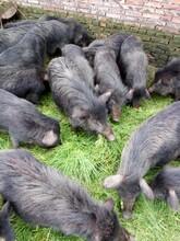 湘鄉藏香豬養殖懷孕母豬種苗圖片