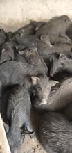 娄里藏香猪养殖基地怀孕母猪种苗商品图片