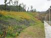畢節山體復綠工程邊坡播種草灌花組合復綠效果