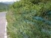 专销浙江舟山市边坡绿化常用的草灌植物种子