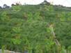 杭州高邊坡綠化常用速生草種草籽供應