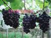 石家庄京亚葡萄穗紧,粒大,味道好,大量上市