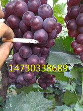 河北石家庄晋州——京亚葡萄