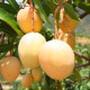 吉禄芒果攀枝花特产图片