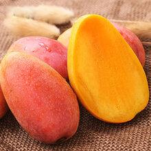 四川攀枝花特产贵妃芒果现摘直发特产新鲜水果