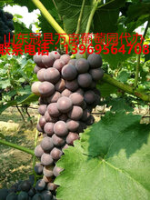 京亚葡萄图片