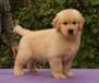 大頭美系金毛幼犬可以送貨到家挑選優惠中正規狗場