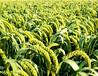 厂家直销纯天然小米粉小米提取物
