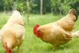 建立农家土鸡养殖追溯管理系统平台的优势