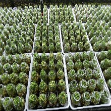 泸州白芨种植视频图片