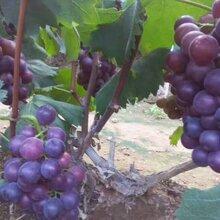 平邑武台镇大粒红葡萄上市了图片