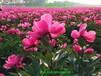 山东菏泽白芍种苗量大从优质量保证