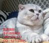 深圳哪里有卖宠物猫蓝猫价格多少已做好疫苗保证健康无病无藓图片