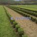福建马尼拉草皮